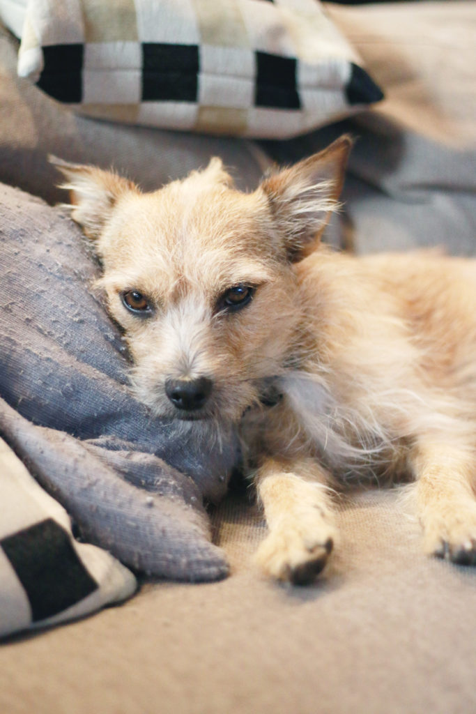 terrier chihuahua mix, caare rescue vancouver, adopting a dog vancouver, alicia fashionista
